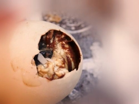 how_to_eat_balut_3_MMM80003387